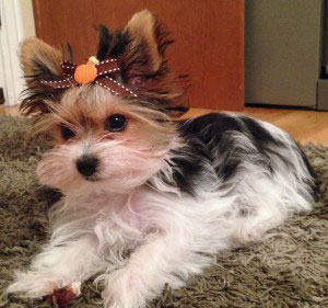 Parti Yorkie Puppies For Sale Its Parti Time For Yorkies